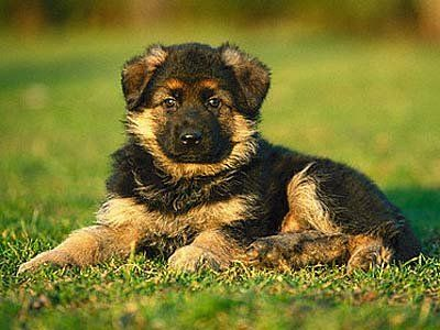 German Shepherd Puppy --- Image by © Image Source/Corbis