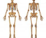 Esqueleto humano y cada uno de sus huesos