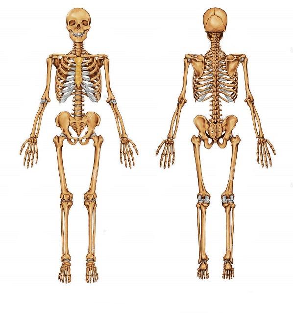 ESQUELETO HUMANO - Cada uno de sus Huesos Y Partes | Imágenes Totales